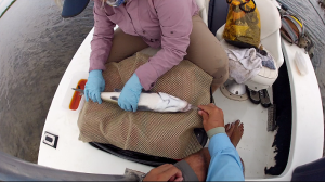 A small transmitter is surgically implanted in the body cavity of the bonefish, which is then held in a pen until the fish is fully recovered. The implantation process takes about 10 minutes.
