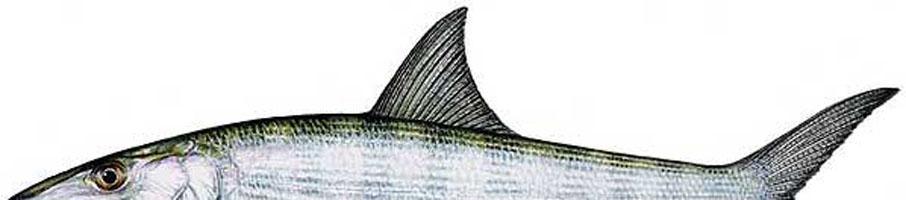 Bonefish Half Big