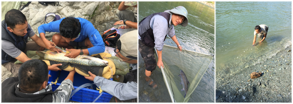 Transmitter tags are surgically implanted inside the body cavity of the fish. The fish are then kept in a fish cradle until they are fully recovered, at which time they are released back into the river.