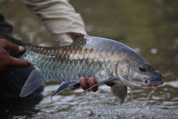 News mahseer thumbnail_sized