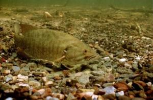 Nesting Bass